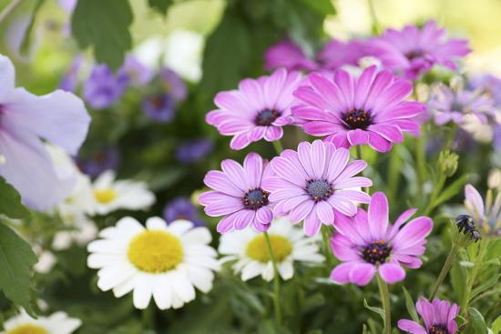 sweet-ink-cape-daisy-margerite-osteospermum-leucanthemum