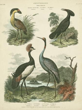 sydenham-teast-edwards-heron-and-crane-species-ii