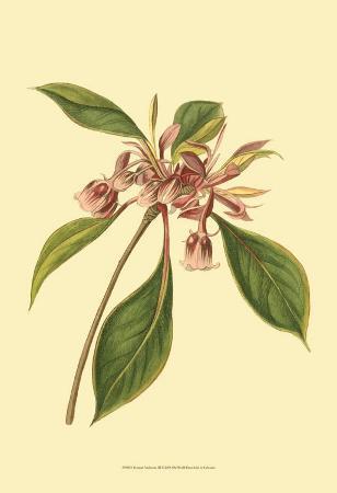 sydenham-teast-edwards-tropical-ambrosia-iii