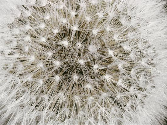 sylvia-sharnoff-close-view-of-a-dandelion-seed-head