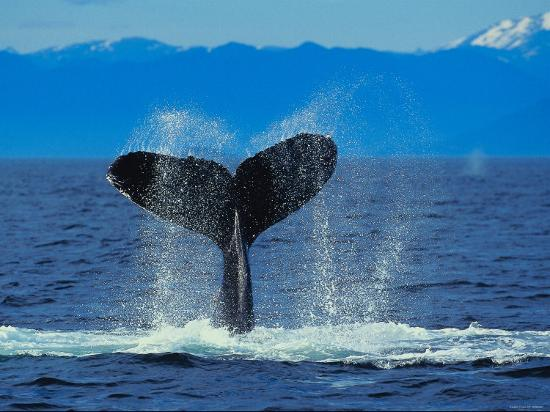 tail-of-humpback-whale-splashing-into-the-water-of-the-ocean