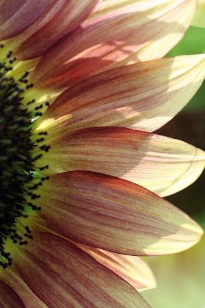 tammy-putman-sunflower-iv