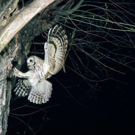 tawny-owl-in-flight-towards-nest