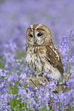 tawny-owl-on-tree-stump-in-bluebell-wood