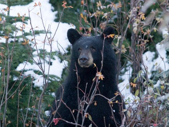 taylor-s-kennedy-a-black-bear-looks-out-of-a-forest-while-hunting-for-food