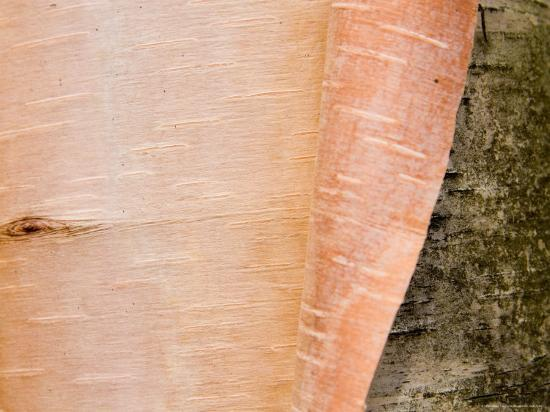 taylor-s-kennedy-a-close-view-of-peeling-birch-bark-on-a-tree
