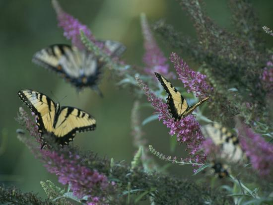 taylor-s-kennedy-a-group-of-yellow-swallowtail-butterflies-on-flowers