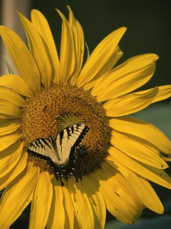 taylor-s-kennedy-a-yellow-swallowtail-butterfly-sits-on-a-sunflower-in-the-sun