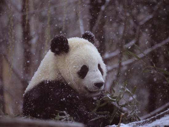 taylor-s-kennedy-national-zoo-panda-eats-bamboo-during-a-winter-in-the-snow