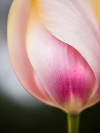ted-dayton-tulip