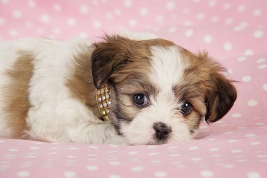 teddy-bear-puppy-on-pink-background