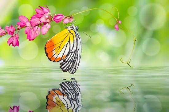 teptong-painted-jezebel-butterfly