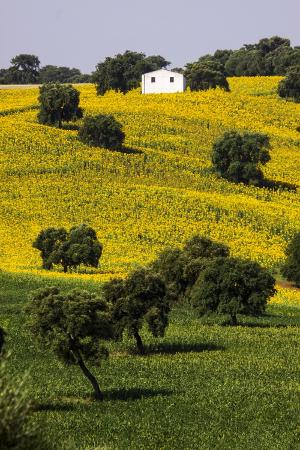 terry-eggers-small-white-house-in-hillside-in-sunflower-and-oak-tree
