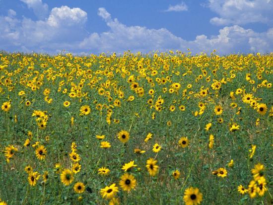 terry-eggers-sunflowers-colorado-usa