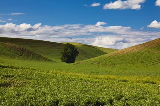 terry-eggers-washington-colfax-rolling-wheat-fields-with-lone-tree