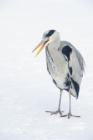 terry-whittaker-grey-heron-ardea-cinerea-on-ice-beak-open-river-tame-reddish-vale-country-park-stockport-uk