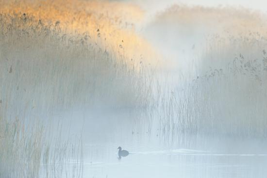 terry-whittaker-reedbeds-at-dawn-with-coot-fulica-atra-in-mist-lakenheath-fen-rspb-reserve-suffolk-uk-may