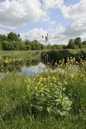 terry-whittaker-wind-pump-charlock-sinapis-arvensis-flowering-in-the-foreground-wicken-fen-cambridgeshire-uk