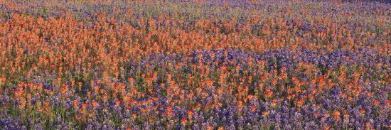 texas-bluebonnets-and-indian-paintbrushes-in-a-field-texas-usa