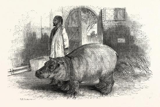 the-behemoth-or-hippopotamus