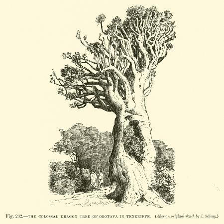 the-colossal-dragon-tree-of-orotava-in-teneriffe