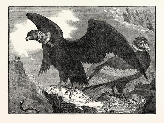 the-condor-from-a-living-specimen