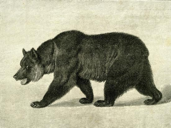 the-grizzly-bear-usa-1891