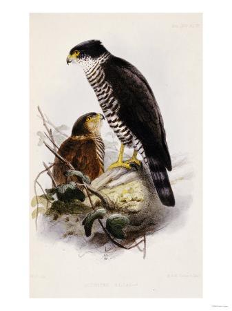 the-ibis-a-magazine-of-general-ornithology