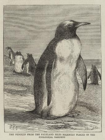 the-penguin-from-the-falkland-isles-recently-placed-in-the-zoological-gardens