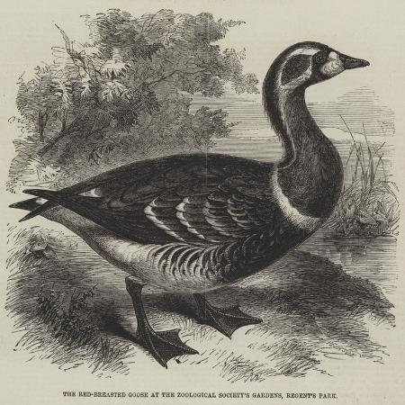 the-red-breasted-goose-at-the-zoological-society-s-gardens-regent-s-park