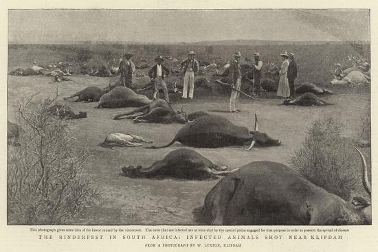 the-rinderpest-in-south-africa-infected-animals-shot-near-klipdam