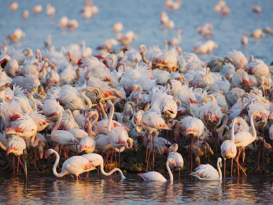 theo-allofs-greater-flamingo-colony-in-lagoon