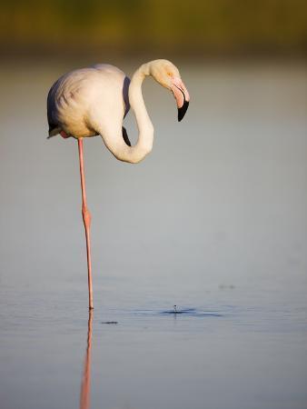 theo-allofs-greater-flamingo-in-lagoon