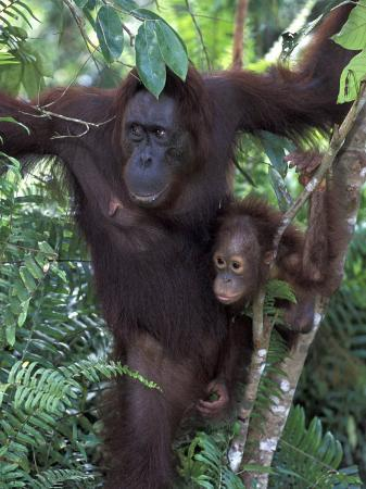 theo-allofs-orangutan-mother-and-baby-in-tree-tanjung-national-park-borneo