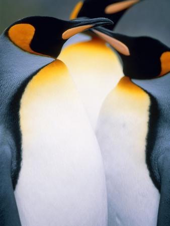 theo-allofs-three-king-penguins