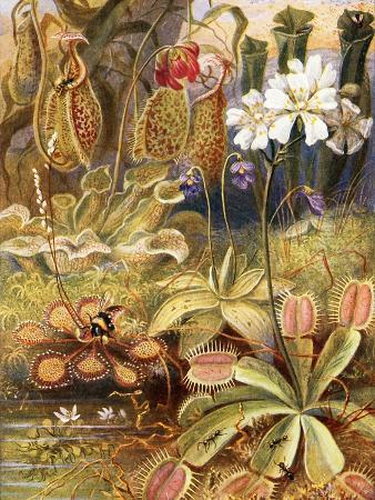 theobald-carreras-a-group-of-carnivorous-plants-illustration-from-wonders-of-land-and-sea-by-graeme-williams