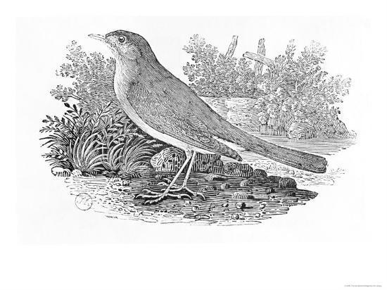 thomas-bewick-the-nightingale