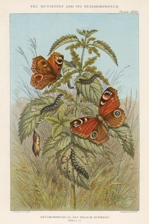 thomas-brown-metamorphoses-of-the-peacock-butterfly-1888