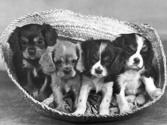 thomas-fall-these-four-cavalier-king-charles-spaniel-puppies-sit-quietly-in-the-basket