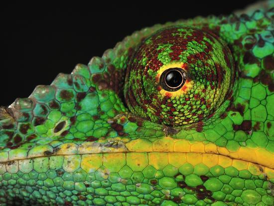 thomas-marent-close-up-of-a-male-panther-chameleon-eye-and-scales-furcifer-pardalis