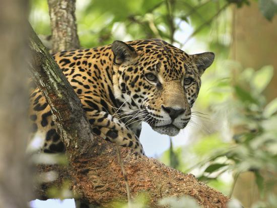 thomas-marent-jaguar-head-panthera-onca-belize