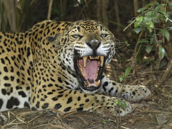 thomas-marent-jaguar-with-open-mouth-showing-its-sharp-teeth-panthera-onca-belize