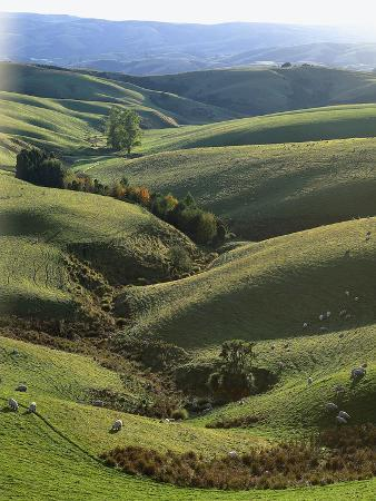 thonig-neuseeland-sv-dinsel-nahe-lawrence-otago-hv-gellandschaft-schafe-new-zealand