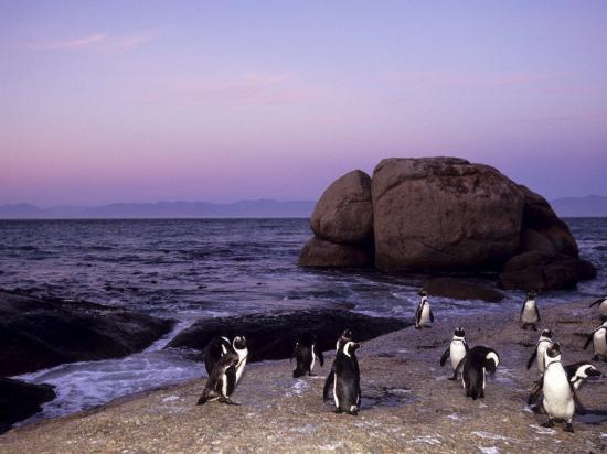 thorsten-milse-african-jackass-penguins-sphensiscus-demersus-cape-town-south-africa-africa