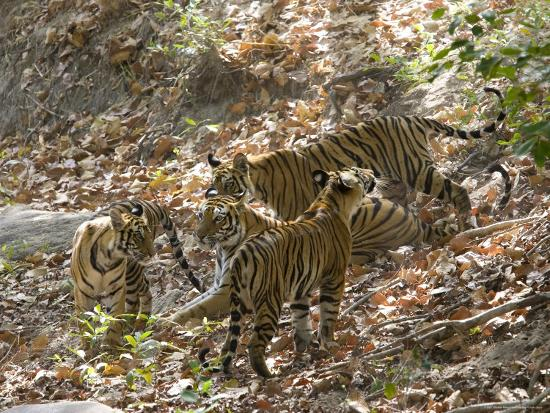 thorsten-milse-bengal-tigers-panthera-tigris-tigris-bandhavgarh-national-park-madhya-pradesh-india