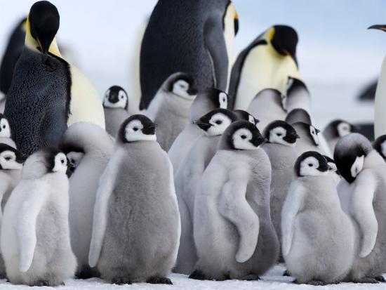 thorsten-milse-colony-of-emperor-penguins-and-chicks-snow-hill-island-weddell-sea-antarctica