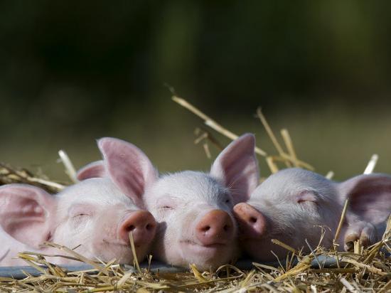 thorsten-milse-domestic-pig-huellhorst-germany