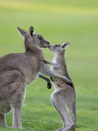 thorsten-milse-eastern-grey-kangaroo-macropus-giganteus-great-ocean-road-anglesea-victoria-australia