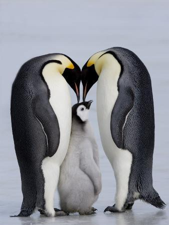 thorsten-milse-emperor-penguin-chick-and-adulta-snow-hill-island-weddell-sea-antarctica-polar-regions