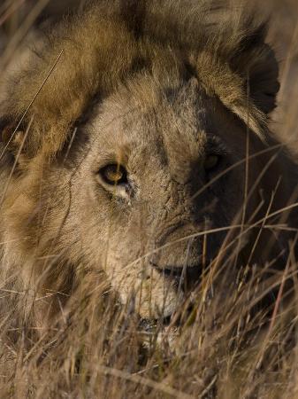 thorsten-milse-lion-panthera-leo-moremi-wildlife-reserve-botswana-africa